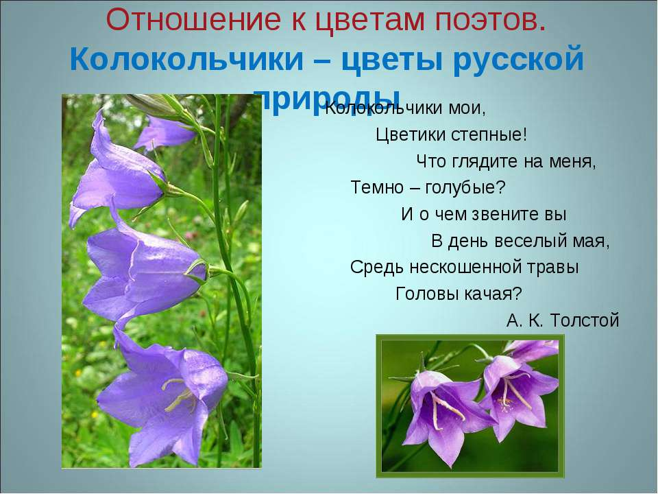 Отношение к цветам поэтов. Колокольчики – цветы русской природы Колокольчики ...