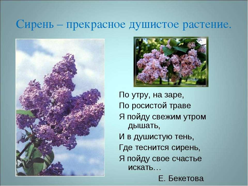 Сирень – прекрасное душистое растение. По утру, на заре, По росистой траве Я ...