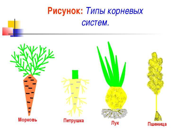 Рисунок: Типы корневых систем.