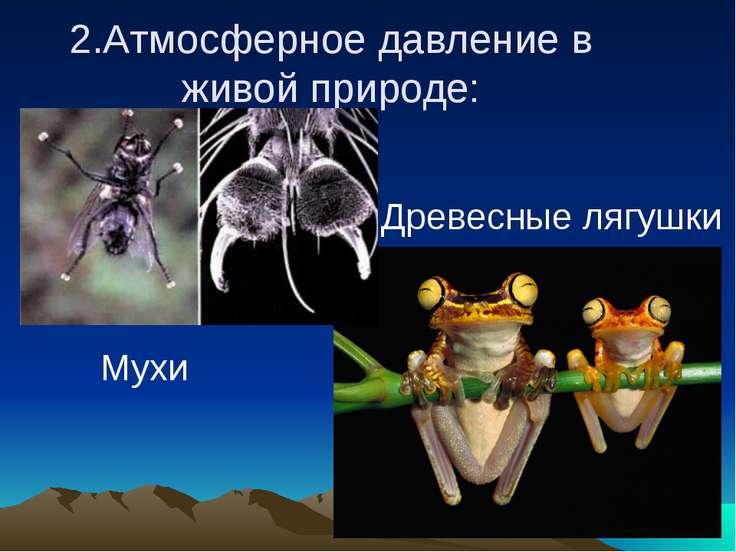 2.Атмосферное давление в живой природе: Мухи Древесные лягушки