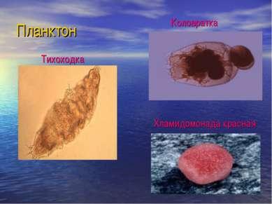 Планктон Тихоходка Коловратка Хламидомонада красная