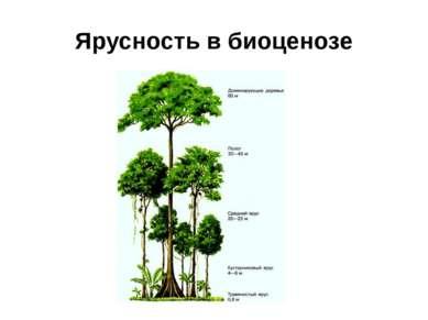 Ярусность в биоценозе