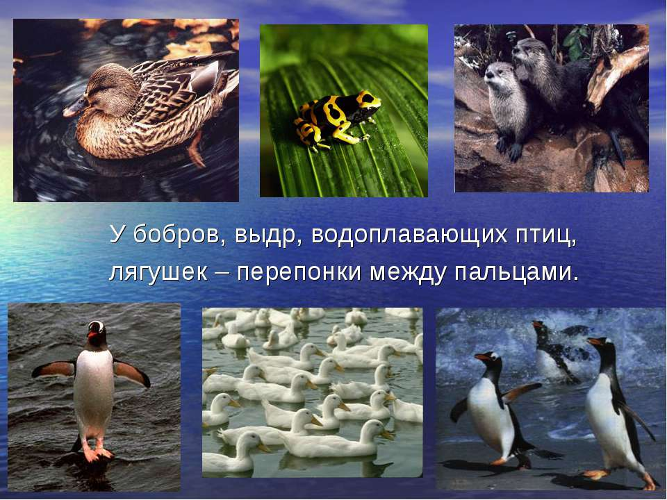 У бобров, выдр, водоплавающих птиц, лягушек – перепонки между пальцами.