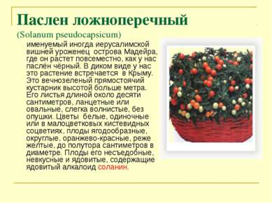 Паслен ложноперечный (Solanum pseudocapsicum) именуемый иногда иерусалимской ...
