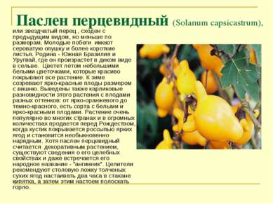 Паслен перцевидный (Solanum capsicastrum), или звездчатый перец , сходен с пр...