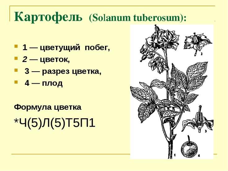 Картофель (Solanum tuberosum): 1 — цветущий побег, 2 — цветок, 3 — разрез цве...