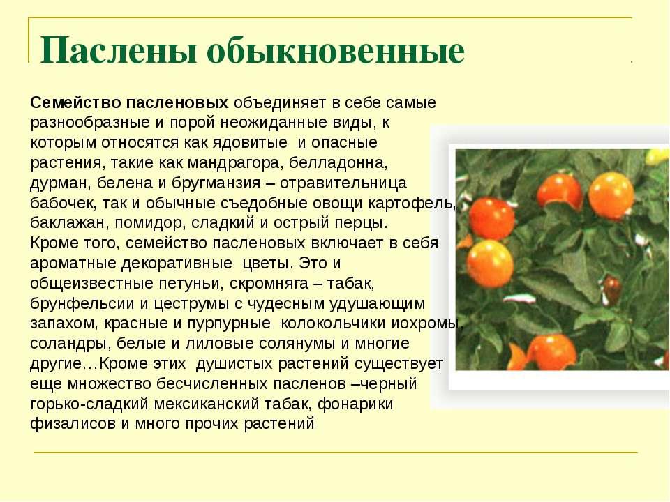 Паслены обыкновенные Семейство пасленовых объединяет в себе самые разнообразн...