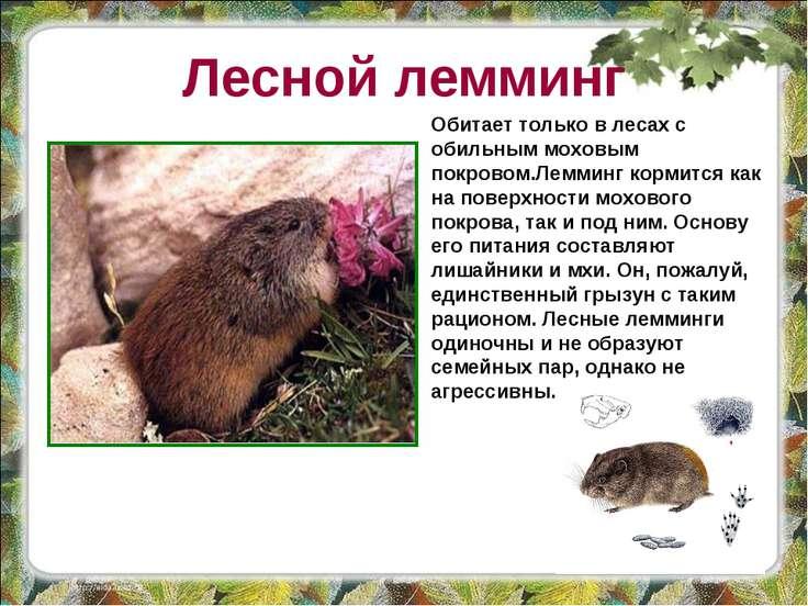 Лесной лемминг Обитает только в лесах с обильным моховым покровом.Лемминг кор...