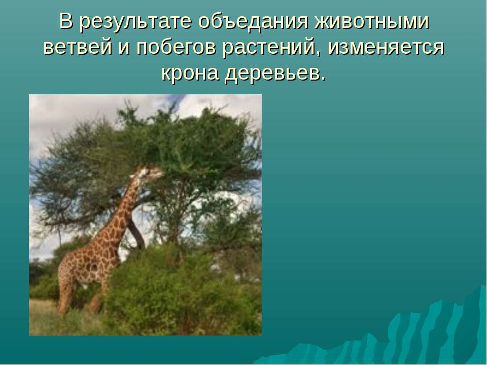 В результате объедания животными ветвей и побегов растений, изменяется крона ...