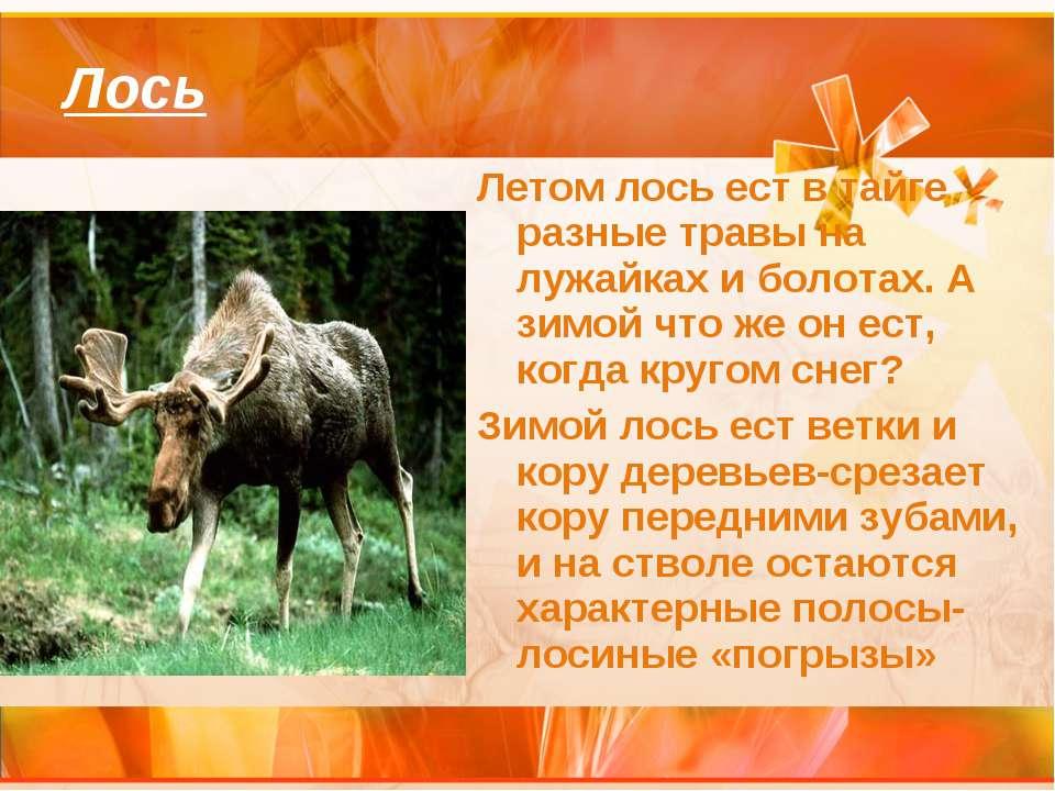 Лось Летом лось ест в тайге разные травы на лужайках и болотах. А зимой что ж...