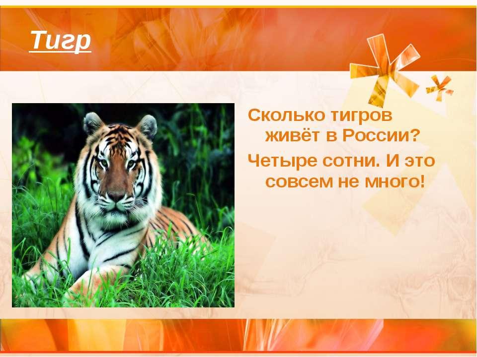 Тигр Сколько тигров живёт в России? Четыре сотни. И это совсем не много!