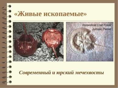 Современный и юрский мечехвосты «Живые ископаемые»