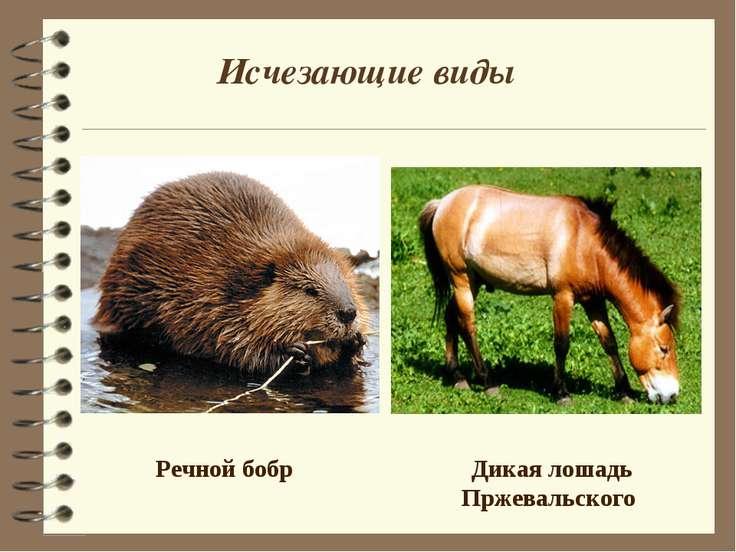 Дикая лошадь Пржевальского Речной бобр Исчезающие виды