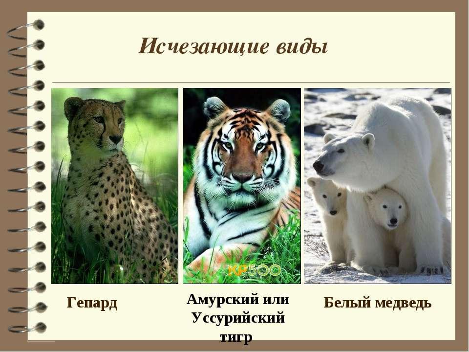 Исчезающие виды Гепард Амурский или Уссурийский тигр Белый медведь