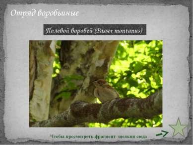 Отряд воробьиные Полевой воробей (Passer montanus) Чтобы просмотреть фрагмент...