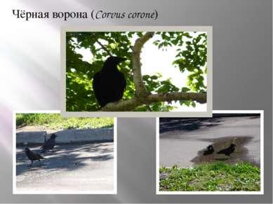 Чёрная ворона (Corvus corone)