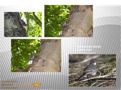 Камчатская белая трясогузка ( Motacilla lugens) Поползень (Sitta europaea) Пр...