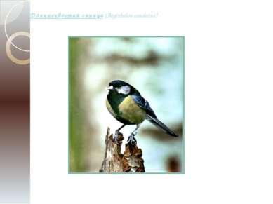 Длиннохвостая синица (Aegithalos caudatus)