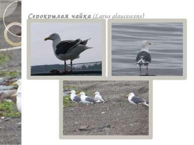 Серокрылая чайка (Larus glaucescens)