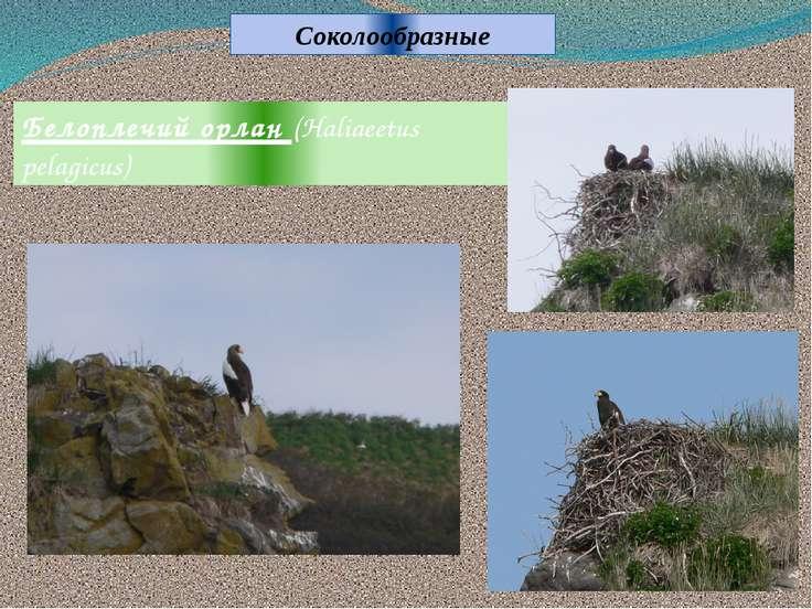 Белоплечий орлан (Haliaeetus pelagicus) Соколообразные
