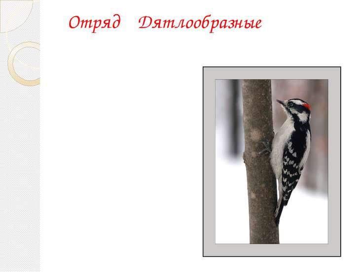 Отряд Дятлообразные Большой пестрый дятел (Dendrokopus major)