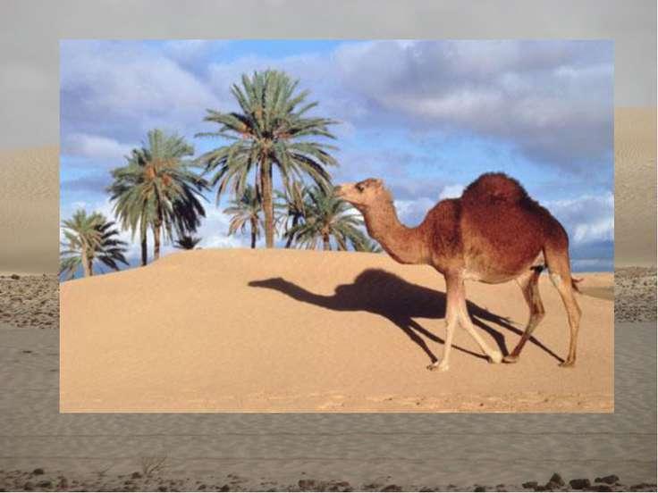 Дикий верблюд