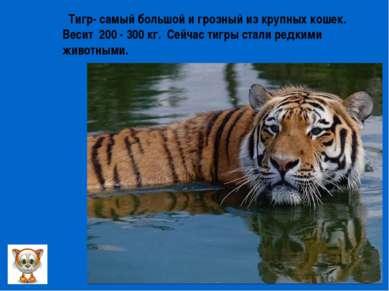 Тигр- самый большой и грозный из крупных кошек. Весит 200 - 300 кг. Сейчас ти...
