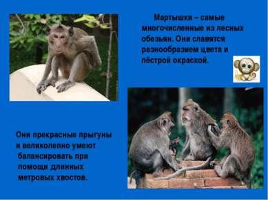 Мартышки – самые многочисленные из лесных обезьян. Они славятся разнообразием...