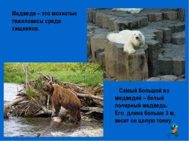 Медведи – это мохнатые тяжеловесы среди хищников. Самый большой из медведей –...