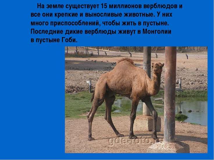 На земле существует 15 миллионов верблюдов и все они крепкие и выносливые жив...