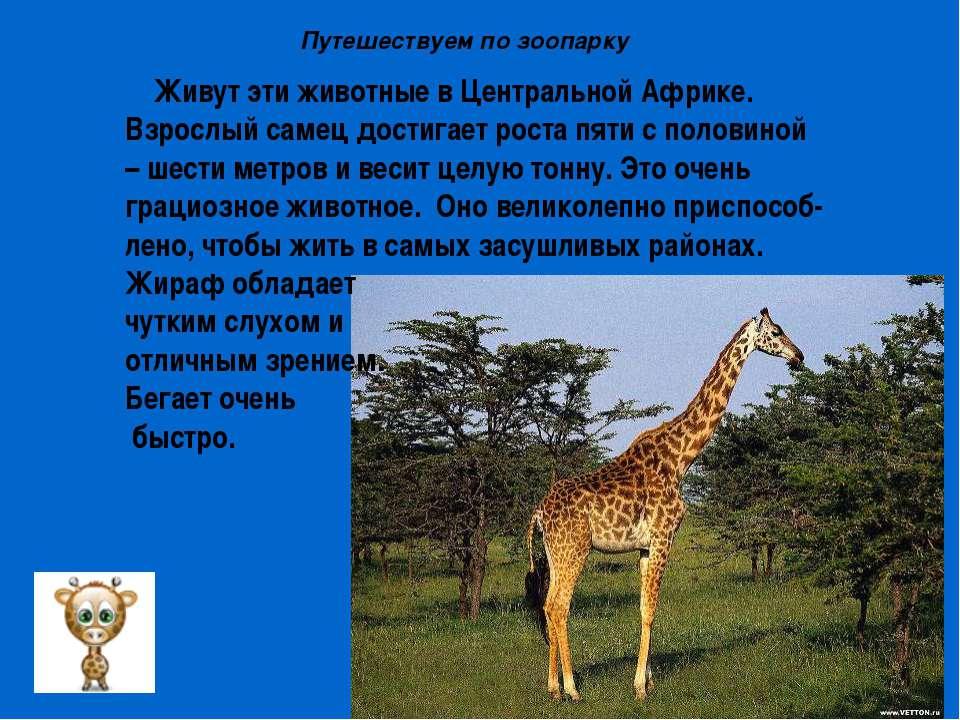 Живут эти животные в Центральной Африке. Взрослый самец достигает роста пяти ...