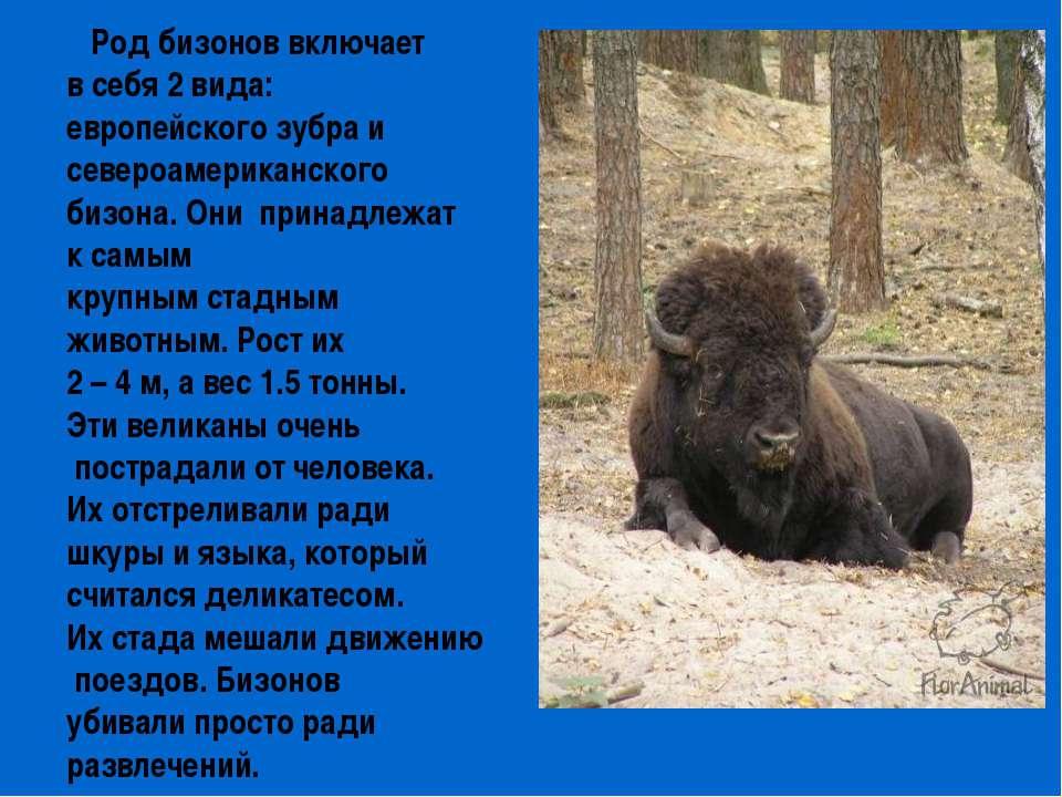 Род бизонов включает в себя 2 вида: европейского зубра и североамериканского ...