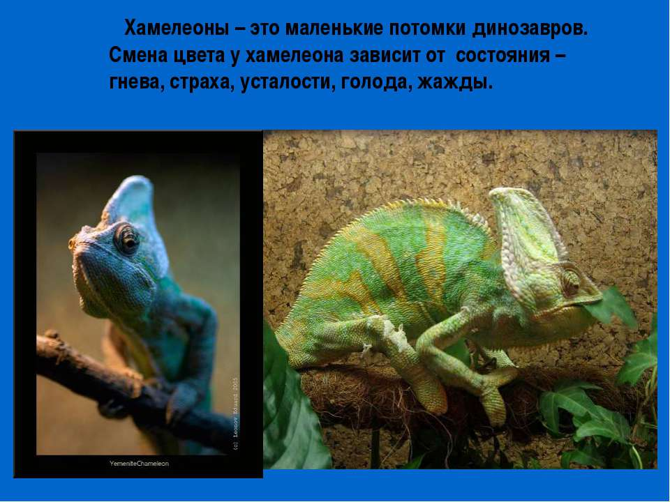 Хамелеоны – это маленькие потомки динозавров. Смена цвета у хамелеона зависит...