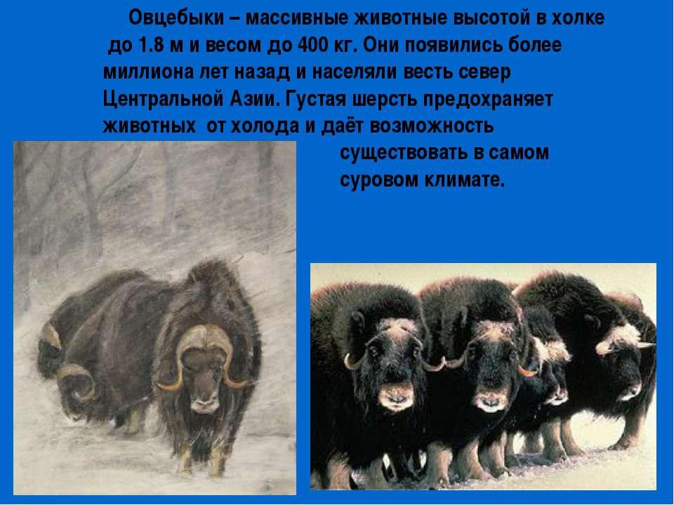Овцебыки – массивные животные высотой в холке до 1.8 м и весом до 400 кг. Они...