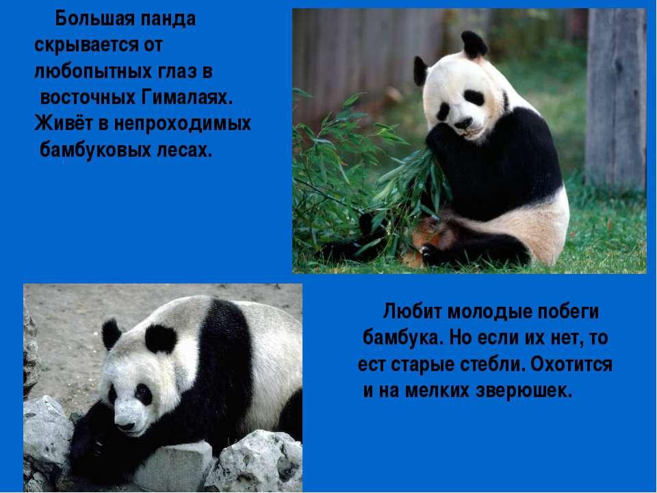 Большая панда скрывается от любопытных глаз в восточных Гималаях. Живёт в неп...