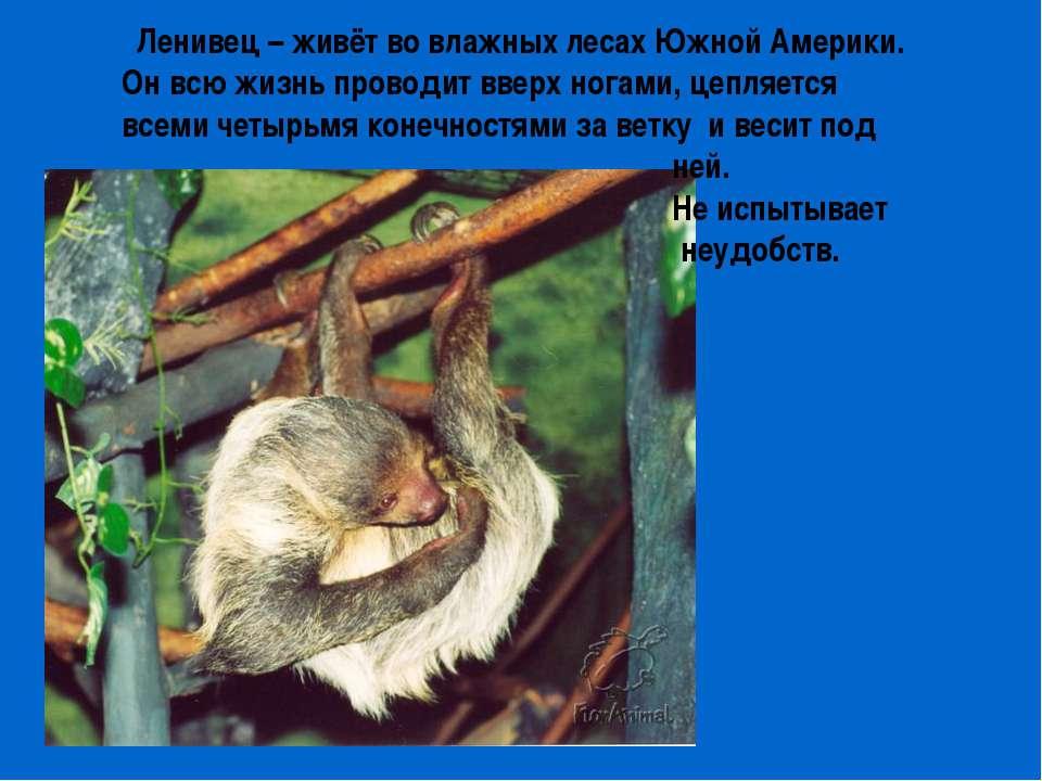 Ленивец – живёт во влажных лесах Южной Америки. Он всю жизнь проводит вверх н...