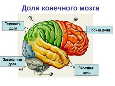 Доли конечного мозга Лобная доля Теменная доля Височная доля Затылочная доля