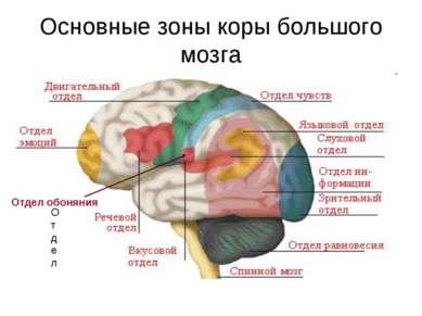 Основные зоны коры большого мозга Отдел Отдел обоняния