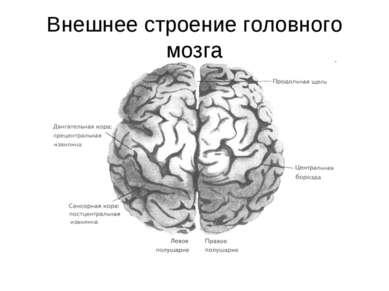 Внешнее строение головного мозга