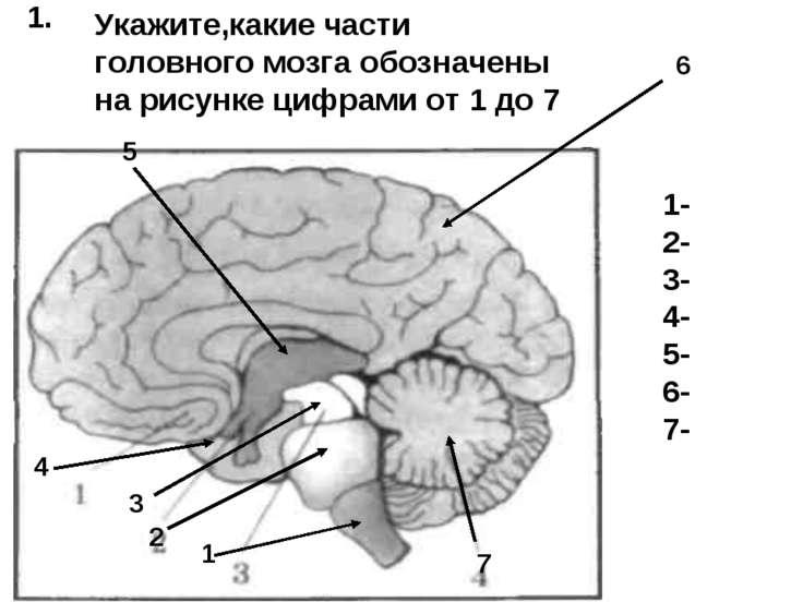 6 5 4 3 7 2 1 1- 2- 3- 4- 5- 6- 7- 1. Укажите,какие части головного мозга обо...
