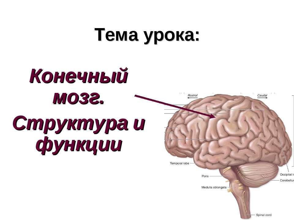 Тема урока: Конечный мозг. Структура и функции