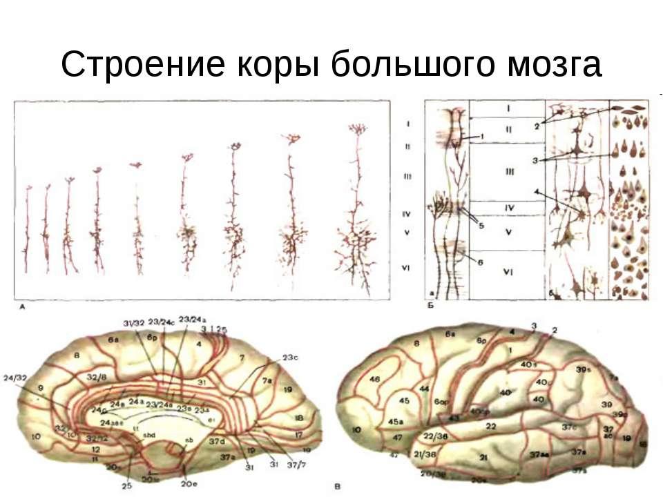 Строение коры большого мозга