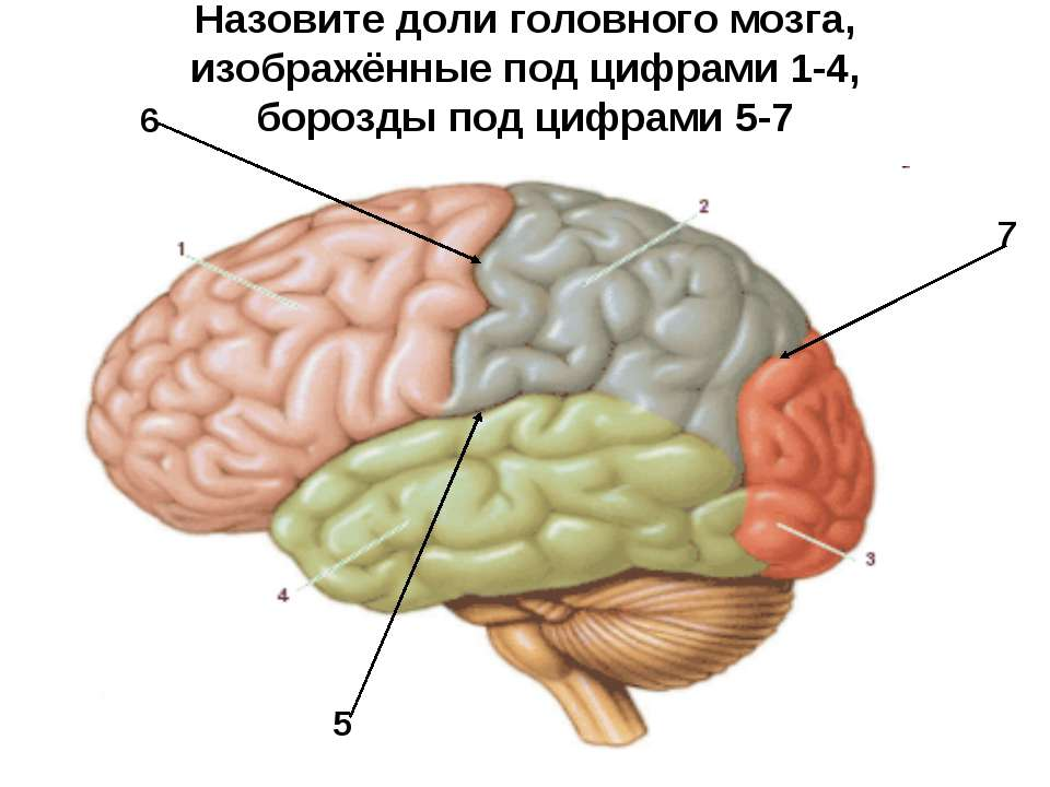 Назовите доли головного мозга, изображённые под цифрами 1-4, борозды под цифр...