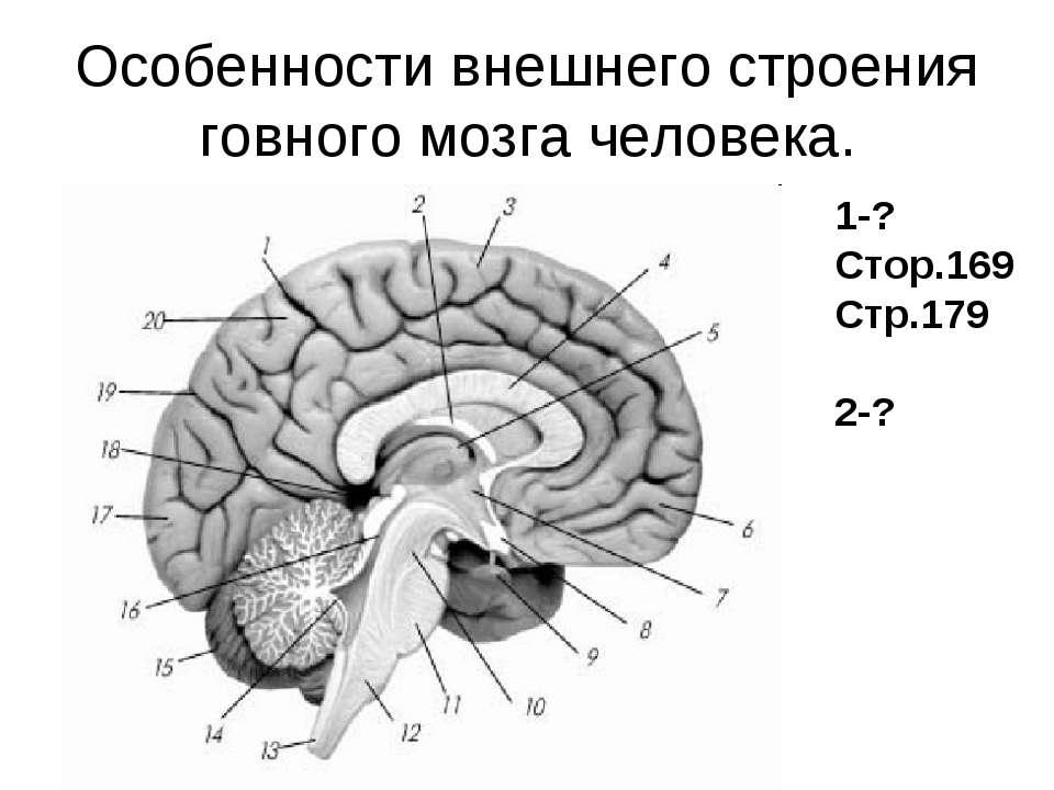 Особенности внешнего строения говного мозга человека. 1-? Стор.169 Стр.179 2-?