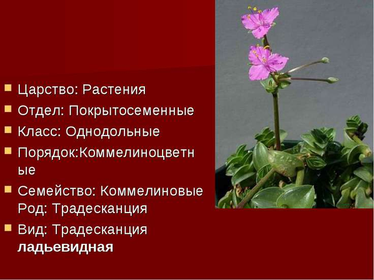 Царство: Растения Отдел: Покрытосеменные Класс: Однодольные Порядок:Коммелино...