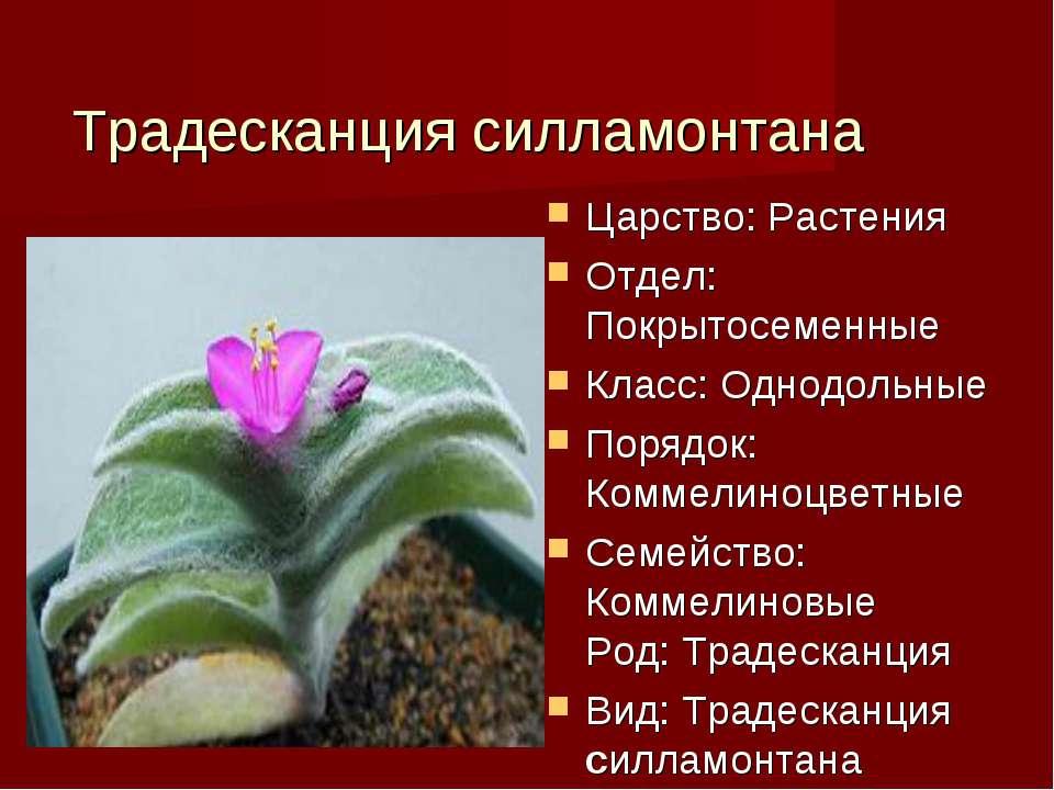 Традесканция силламонтана Царство: Растения Отдел: Покрытосеменные Класс: Одн...