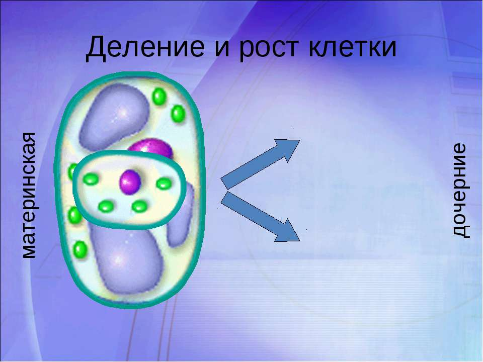Деление и рост клетки материнская дочерние