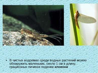 В чистых водоемах среди водных растений можно обнаружить маленьких, около 1 с...