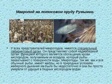 Макропод на лотосовом пруду Румынии. У всех представителей макроподов, имеетс...