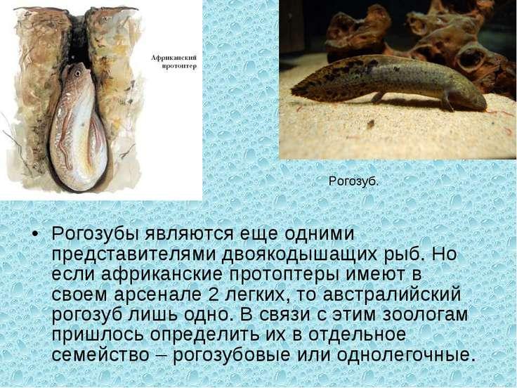 Рогозубы являются еще одними представителями двоякодышащих рыб. Но если африк...